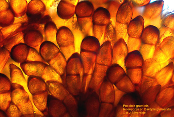 Puccinia_graminis_teliospores.png